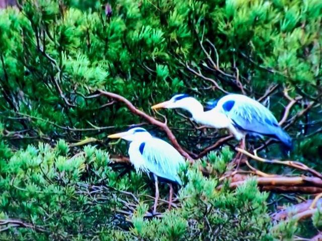 Herons at Rushmere