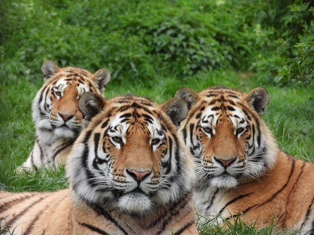 The zoo's beautiful tigers Makari, Czar and Dmitri. Photo: ZSL Zookeeper James Ford