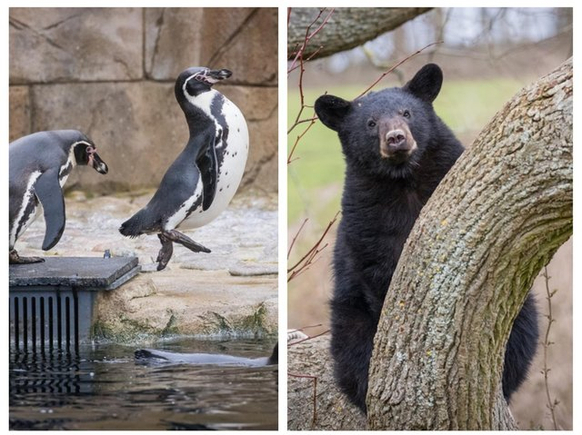 Jumping for joy! The penguins and bear cubs can't wait to welcome visitors. Photo: Woburn Safari Park.